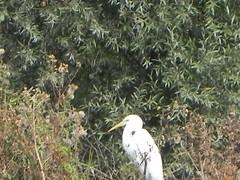 DSCN9929 (Gianluigi Roda / Photographer) Tags: wetlands waterbirds herons summer latesummer 2012