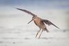 Flare Out (gseloff) Tags: shortbilleddowitcher bird flight bif landing nature wildlife animal beach surf gulfofmexico bolivarflatsshorebirdsanctuary galvestoncounty texas gseloff