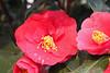 Camellia japonica 'Fred Sander' - Palmengarten der Stadt Frankfurt am Main-02 (Ruud de Block) Tags: ruuddeblock frankfurtbotanicalgarden theaceae camelliajaponicafredsander camellia japonica fred sander