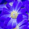 pollen (saracali.gallery) Tags: flower flowers macro pollen blue purple nature beauty color happy spring primavera daisy