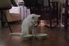 "Charlie: ""Where do I start?"" (rootcrop54) Tags: charlie amusing eating ritual really slow savorthemoment white allwhite male cat feeding set neko macska kedi 猫 kočka kissa γάτα köttur kucing gatto 고양이 kaķis katė katt katze katzen kot кошка mačka gatos maček kitteh chat ネコ"