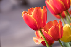 Colors for a dark rainy day (Irina1010) Tags: tulips flowers spring red yellow pretty bright bokeh 2018 nature canon coth5 ngc npc