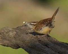 Carolina Wren (AllHarts) Tags: carolinawren backyardbirds memphistn naturescarousel ngc