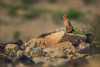 Wiedehopf (Eurasian hoopoe) (tzim76) Tags: celiashide ezuz wiedehopf eurasian hoopoe upupa epops negev israel wildlife nature hide warm stone sand desert wüste steine birding birdwatching migration