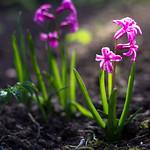 Raising Hyacinth thumbnail