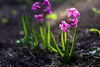 Raising Hyacinth (Theo Crazzolara) Tags: hyazinthen hyacinth flower spring light garden blossom epic beautiful lila violet pink plant business grow growing increasing raising life strenght