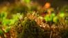 Colors (Piotr Mierzejewski) Tags: diaplan trioplan m42 bokeh mossy moss forest