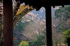 Wild Cherry (tez-guitar) Tags: cherryblossom cherry tree blossom bloom spring flower temple nara pentax pentaxart macro