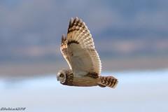 Short-eared-owl (Georgiegirl2015) Tags: shortearedowl birds avian owls aust spring march2018 dellalack southgloucestershire migration canon coastal ef300mm severn