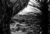Dagger and tree. (nateabrown) Tags: joshuatree desert cali california ilford iso400 blackandwhite grain landscape palmsprings rock geology minolta