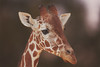 Giraffe (Cruzin Canines Photography) Tags: giraffe animal animals canon canoneos5ds canon5ds 5ds eos5ds mammal wildlife wild wildanimal wildanimals cheyennemountainzoo zoo outdoors outside nature naturallight naturepreserve portrait