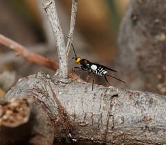 Braconid wasp Callidracon sp.12mm long. (ron_n_beths pics) Tags: westernaustralia perthbushlands carineswamp callidracon