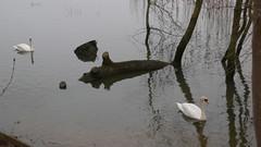 Un Dimanche à Oissel au bord de la Seine (jeanlouisallix) Tags: oissel seine maritime haute normandie france fleuve rivière cours deau nature paysage landscape river berges arbres oiseau cygne swan palmipède
