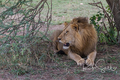 Male Lion (robsall) Tags: 2016 70200 7d 7dmarki africa africatourism africawildlifephotography africanwildlife big bigcat bigcats canon7020028 canon70200mm canon70200mmf28isiiusm canon7d canoneos canoneos7d carnivore cat endangered family feline largefelines lion lioness lions mammal pantheraleo predator robsallaeiral robsalldrone robsalldronephotography robsallphotography robsallwildlifephotography tanzania tanzania2016 vacation vulnerable mararegion
