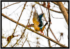 Great to see you, but its time to fly! (JohnKuriyan) Tags: kumarakom kerala india in