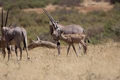 Beisa Oryx & Calf (featherweight2009) Tags: beisaoryx oryxbeisa eastafricanoryx antelopes mammals africa