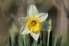 Gelbe Narzisse (uwe.kast) Tags: daffodils gelbenarzisse narzisse blumen pflanzen natur nature canon canon750d ef70200mm