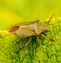 Common Green Shieldbug (niloc's pic's) Tags: commongreenshieldbug shieldbug bug palomenaprasina green insect panasonic lumix dmcgx7 bexhillonsea eastsussex