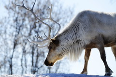 The Wanderer in me (Captions by Nica... (Fieger Photography)) Tags: reindeer antlers winter weather snow trees animal wildlife outdoor nature quebec canada