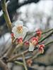 梅 (anna.letoile) Tags: osaka plum osakacastle japan nihon japantrip spring flower 日本 大阪 大阪城 梅 春 olympus olympusmzuiko1442 olympusomdem10markii flickraward