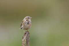 Meadow pipit (Steve Balcombe) Tags: bird meadow pipit anthus pratensis tealham moor somerset levels uk