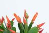 Growing Easter cactus (wuestenigel) Tags: easter beautiful whitebackground closeup flower decoration cactus flowers nature whitetable natur flora blume noperson keineperson leaf blatt garden garten disjunct disjunkt growth wachstum tulip tulpe summer sommer bright hell floral blumen color farbe husk merken blooming blühen petal blütenblatt love liebe bouquet straus nahansicht kaktus