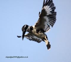 IMG_2502 Pied Kingfisher (Ceryle rudis)-Female (vlupadya) Tags: greatnature aves fauna indianbirds pied kingfisher ceryle malyadi karnataka