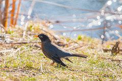 Robin (A Great Capture) Tags: tweet pond water signofspring nature toronto robin bird agreatcapture april22018 brickworks evergreenbrickworks agc wwwagreatcapturecom adjm ash2276 ashleylduffus ald mobilejay jamesmitchell on ontario canada canadian photographer northamerica torontoexplore spring springtime printemps
