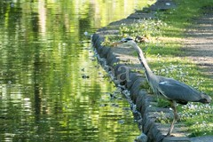 H509_8047 (bandashing) Tags: canal wildlife green heron peakforestcanal water bird dukinfield sylhet manchester england bangladesh bandashing aoa socialdocumentary akhtarowaisahmed