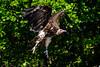 Vulture (R.J.Boyd) Tags: birds prey raptors gaunlet hunters flying avian animals wildlife feathers knutsford vulture