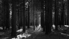 In the Pines (Skeptiq_1) Tags: nikond700 nikon50mmf18 nikon nikkor d700 50mm photo photos photography fx fullframe black white blackwhite bw monochrome forest trees woods pines light day mammoth landscape nature california usa unitedstates art tree blackandwhite