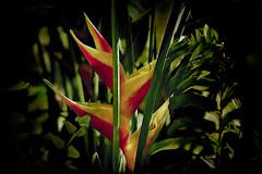 DSC02247_05242018 (acomanda) Tags: birdofparadise topaz floridawildlife flowers