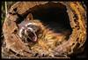 enjoying the sun (P.Höcherl) Tags: 2018 nikon d5300 tamron tamron16300mmf3563diiinafvcpzdmacro waschbär tier animal racoon bayerischerwald bavarianforest bayern bavaria germany deutschland