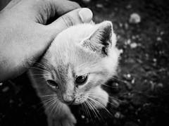 4001 - Giulio (Diego Rosato) Tags: giulio gatto cat animale animal pet bianconero blackwhite fuji x30 rawtherapee caress carezza