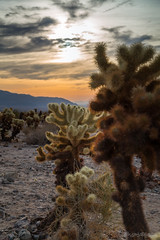 Keeping Cool (ProPeak Photography - Thanks for 600,000 views!) Tags: america blue blueskies cactus california cholla clouds cylindropuntiabigelovii famousplace flora green iconic internationallandmark joshuatreenationalpark landscape nps nationalpark nature northamerica orange pintobasin places spring texture touristattraction traveldestination travelandtourism usa unitedstates yellow desert mountain
