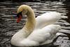 IMG_1319 (picolo_rasco@hotmail.com) Tags: brugge belgium spring swan bird zwaan