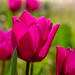 mes tulipes