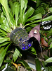 Dracula roezlii ('Beta' x 'Cow Hollow') species orchid (nolehace) Tags: dracula roezlii beta cow hollow species orchid 518 cultivar spring nolehace sanfrancisco fz1000 flower bloom plant