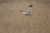 R17_3800 (ronald groenendijk) Tags: cronaldgroenendijk 2018 circusaeruginosus marshharrier rgflickrrg westernmarshharrier animal bird birds bruinekiekendief copyrightronaldgroenendijk kiekendief nature natuur natuurfotografie outdoor ronaldgroenendijk roofvogels vogel vogels