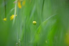 _MG_1320-1 (paulbyrneuk81) Tags: hampstead heath london field photo tour buttercup flowers