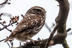 LittleOwl-0002.jpg (vorneo) Tags: wildbird kingdomanimalia birdofprey owl binomialnameathenenoctua littleowl bird speciesanoctua phylumchordata familystrigidae orderstrigiformes classaves genusathene