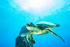 turtle6Mar28-18 (divindk) Tags: cheloniamydas hawaii hawaiianislands honu malaramp maui underwater diverdoug endangeredspecies greenseaturtle marine ocean reef sea seaturtle turtle underwaterphotography