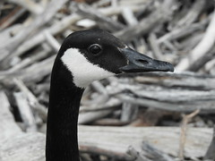 A Canada goose resting on Victoria Island in Ottawa, Ontario (Ullysses) Tags: brantacanadensis canadagoose victoriaisland turtleisland ottawa ontario canada spring printemps