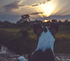 Scamp Sunset (dusk_rider) Tags: dog sunset dusk rider boston terrier beautiful sky hitchin hertfordshire england puppy nikon d7200 1224mm if