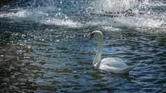 Cygne blanc (pascal548) Tags: animal cygne oiseau