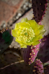 Prickly Pear Cactus (http://fineartamerica.com/profiles/robert-bales.ht) Tags: arizona cacti fineart flickr flowers foothills forupload haybales people photo photouploads places plants projects states cactus yellow opuntia plant prickly pear nature desert green succulent closeup edible thorn outdoor flora botanical abstract botany cactaceae spring juicy orange cactuspear pricklypear fruit mexican flower blossom texture thorns spiky blooming pricklypearcactus macro needle chollasangelswings bunnyears bunnyearpricklypear polkadotcactus cinnamoncactus robertbales glochids