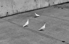 Dove triangle (peter.a.klein (Boulanger-Croissant)) Tags: blackandwhite bw black white blanc noir noiretblanc negro blanco schwarz weiss leica monochrom pigeon dove whitedove triangle geometric concrete menageatrois bird