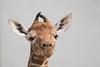 Netgiraffe_Jong_02 (Nick Dijkstra) Tags: artis giraffacamelopardalisreticulata netgiraffe reticulatedgiraffe somalischegiraffe jong