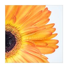 Sunshine (Dave Fieldhouse Photography) Tags: gerbera flower cutflowers macro macrophotography closeupphotography colourful plant nature orange droplets graphic card spring springtime petals fuji fujifilm fujixt2 samyang samyangf28100mm project wwwdavefieldhousephotographycom