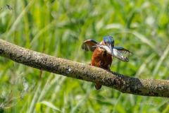 Brandon_20180520_26136 (Rural Dave) Tags: birds brandonmarsh nature wildlife